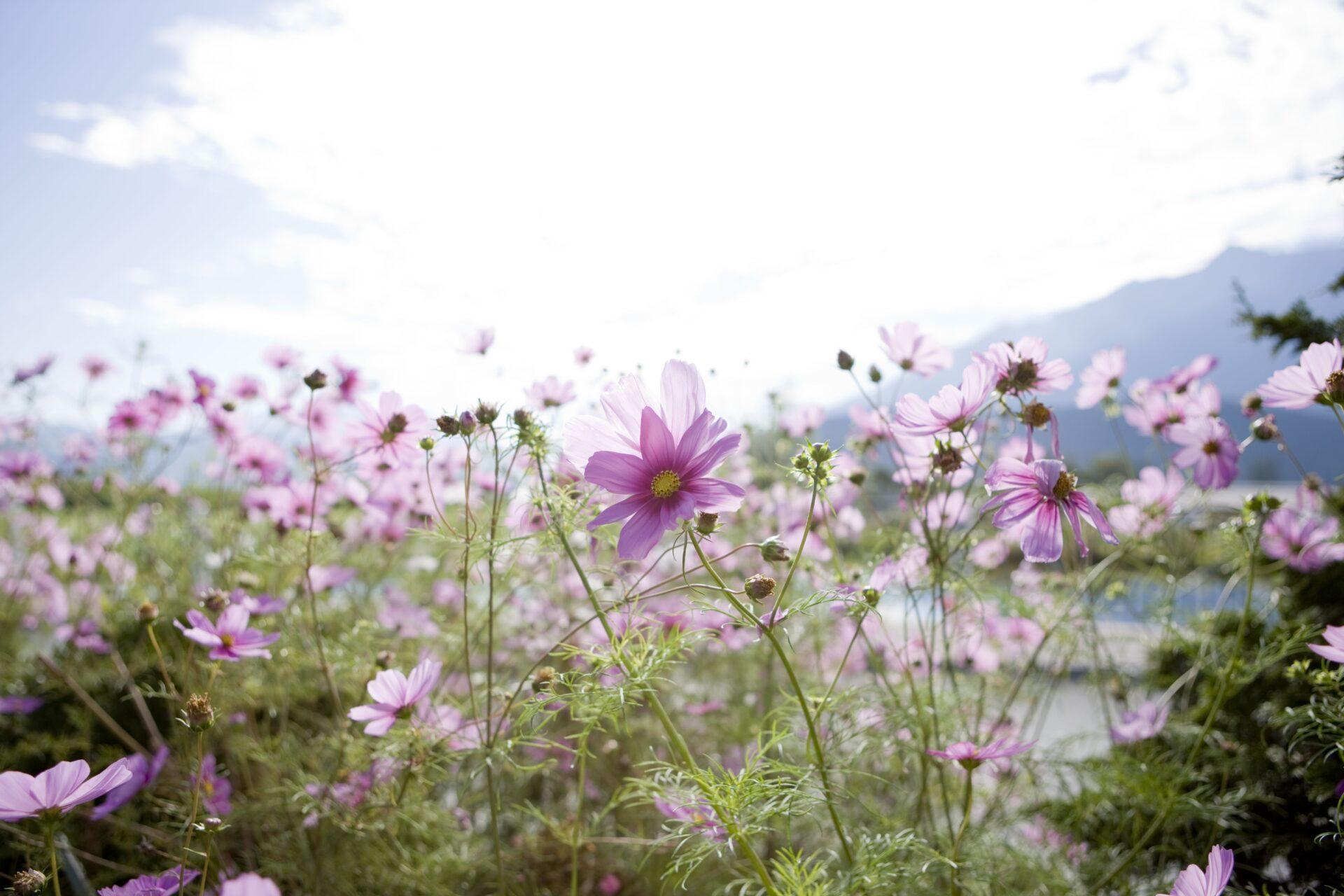 Blumenwiese in Tirol